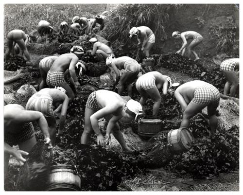 Harvesting Seaweed, 1956, Yoshiyuki Iwase